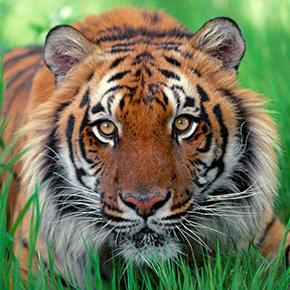 kashmirische-massage-amsterdam-healing-sessies-tijger-ontwaakt